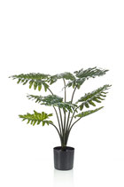 Philodendron  60 cm