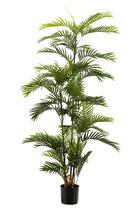 Phoenix palm.