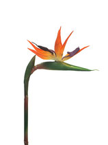 Strelitzia small orange