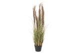 Grasplant met pluimen