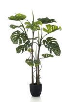 Monstera met wortels  120 cm
