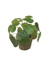 Pannenkoekplantje in pot per 2 stuks