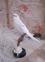 Schönes altes Tierpräparat: Weißer Wellensittich