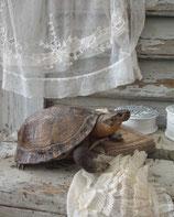 Altes Lehrmittel Schildkröte Tierpräparat