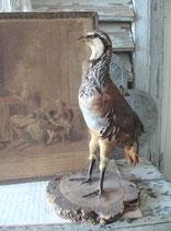 Taxidermy: Altes Tierpräparat Rebhuhn