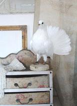 Taxidermie: Zauberhafte weiße Taube