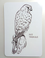 Creatorium: Falco Tinnunculus