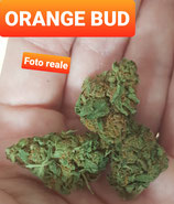 orange bud- indoor