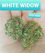white widow- indoor