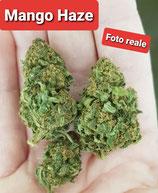 mango haze- indoor