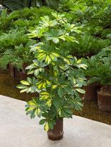 Schefflera arb. Gold/Capella
