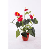 Anthurium in Topf, L50cm