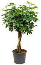 Schefflera arboricola 'Compacta' Stamm