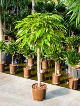 Ficus binn. Astel King Stamm