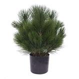 Outdoor Pflanze Pinus