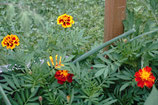 Tagetes-Mischung