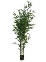 Bamboestruik 180cm hoog