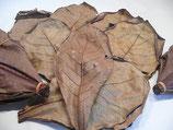 Seemandelbaumblätter aus Singapur 18-20 cm