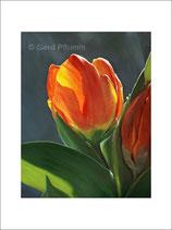 Tulpen No 09, Kunstkarten