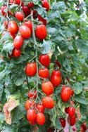 Tomate San Marzano 500 g