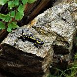 Feuersalamander - Salamandra terestris