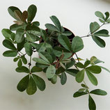 Rhoicissus digitata - schöner Busch aus Afrika