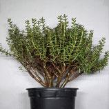 Viele weitere Pflanzen gibts in unserem Fachgeschäft - gerne auch auf Bestellung!!
