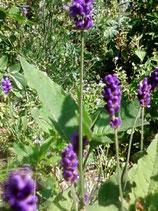 Lavendel, BIO Ätherisches ÖL