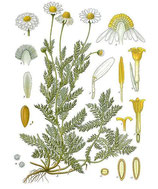 Kamille, römisch, Ätherisches Öl