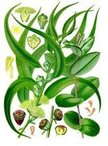 Eukalyptus glob. BIO, Ätherisches Öl