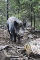 Schäuferle vom Wildschwein