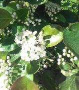 Fruchtaufstrich Aronia-Brombeer (200 g)
