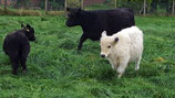 Rinderbraten vom Galloway (zum Garen im Ofen)