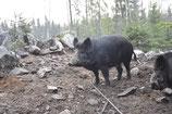 Rückenfiletsteak vom Wildschwein
