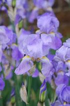 Iris Foglie di Violetta