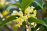 Osmanthus Orange Blossoms