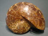 cleoniceras ammonite fossil