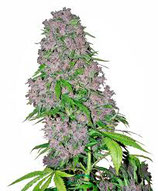 Purple bud (white label seeds)