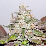 Mendocino Purple kush(medical seeds)