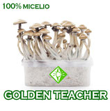 Kit setas golden teacher*