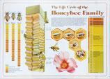 ミツバチのライフサイクルポスター (英語表記)