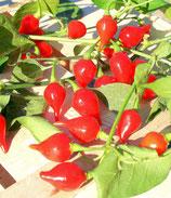 Chupetinho 1 pianta