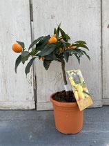 Kumquat Hochstamm Höhe ca. 40cm