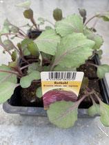 Rotkohl - 12 Jungflanzen in Schale