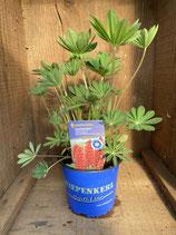 Lupinus polyphyllus 'Gallery Red' - Staudenlupinie