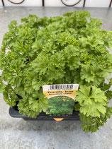 Petersilie kraus - 12 Jungflanzen in Schale