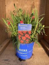 Dianthus caryophyllus 'Sunflor Red Allura' - Edel-Nelke