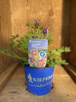Pulsatilla vulgaris 'Bells Violet' - Küchenschelle