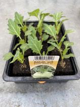 Kohlrabi weiß - 12 Jungflanzen in Schale