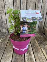 Lucky Berry 4-Monats-Himbeere Reine Pflanzenhöhe ca. 25cm
